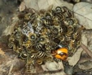 スズメバチ 弱点