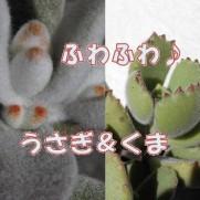 多肉植物の兎と熊